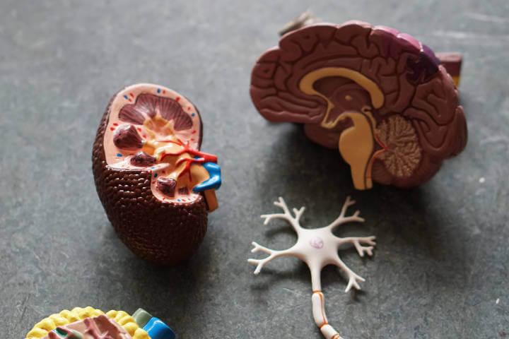 Model maketa bubrega i srca i prikaz obojenih krvnih sudova